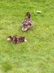 Baby ducks on the golf course